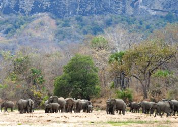 Elefantes tomando agua cerca de la aldea Mbamba en la reserva natural Niassa en Mozambique. Foto: Michael D. Kock / Wildlife Conservation Society vía AP / Archivo.