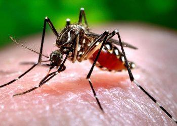 Mosquito de la especie aedes aegypti, que transmite los virus del zika, dengue y chikungunya. Foto: canariasnoticias.es