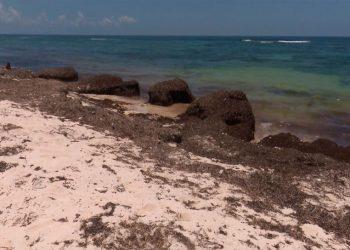 Acumulación de sargazo en la costa de la península de Guanahacabibes. Foto: Belkys Pérez Cruz / Tele Pinar.