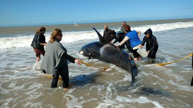 Rescate de orcas en una playa de Argentina, el 16 de septiembre de 2019. Foto: @Cadena3Com / Twitter.