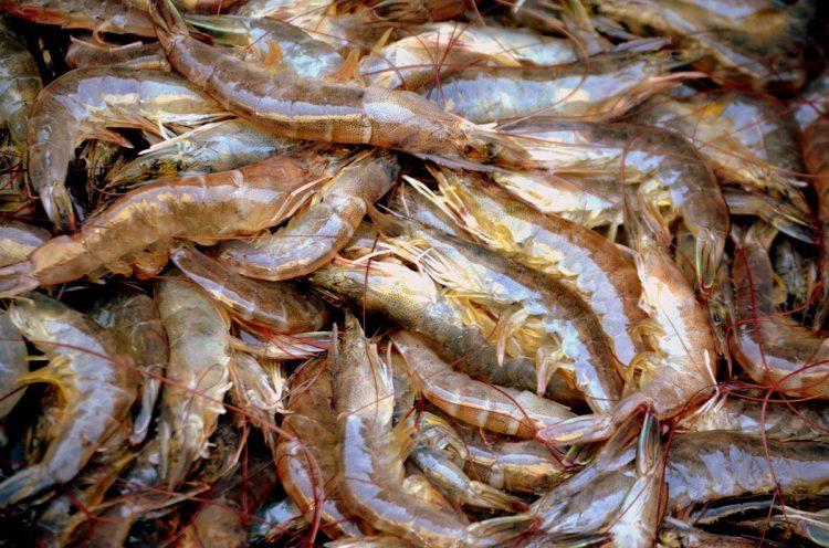 Camarones cubanos. Foto: fao.org / Archivo.