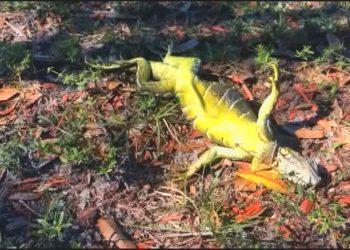 """Iguana """"congelada"""" en Florida. Foto: CNN"""