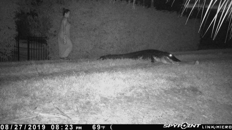 La cámara activada por movimiento de Ibis Property Owners Association muestra supuestamente a Irma Acosta Arya con un cocodrilo que estaba alimentando. Foto: Naples Dayli News.