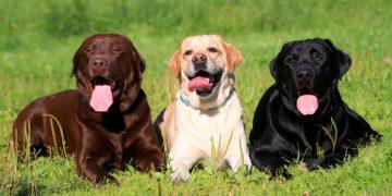 Perros de la raza Labrador. Foto: hogarmania.com / Archivo.