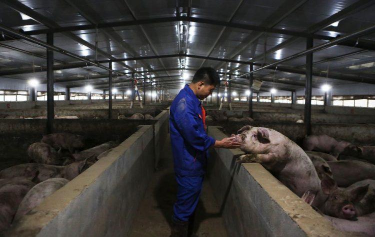 Un empleado examina la condición de un cerdo en una granja porcina del distrito de Zhongjiang, en la provincia suroccidental china de Sichuan. Foto: Li Mengxin/ Xinhua