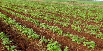 Cultivo de frijoles en Cuba. Foto: granma.cu
