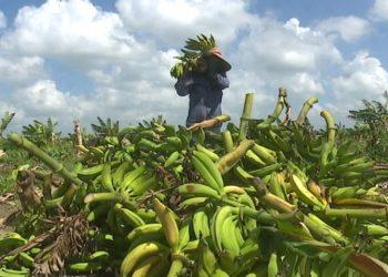 El cultivo de plátano  en la provincia de Holguín también sufrió daños por la tormenta tropical Laura. Foto: Al Día.