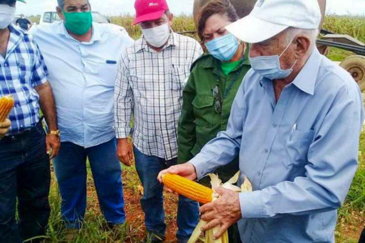 José Ramón Machado Ventura, segundo secretario del Partido, revisa la cosecha de maíz híbrido transgénico en Sancti Spíritus. Foto: Prensa Latina.
