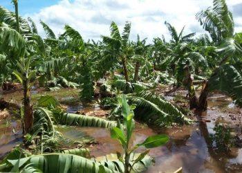 Una parte de los 3500 quintales del banano afectado serán vendidas a la población en Ciego de Ávila, informa la prensa local. Foto: twitter.com/Invasorpress