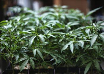 Foto tomada el 15 de agosto del 2019 de una planta de marihuana en Gardena, California. Foto: AP/Richard Vogel/Archivo.