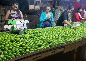 Trabajadoras de la finca La Esperanza preparan limas para la exportación. Foto: cubadebate.cu