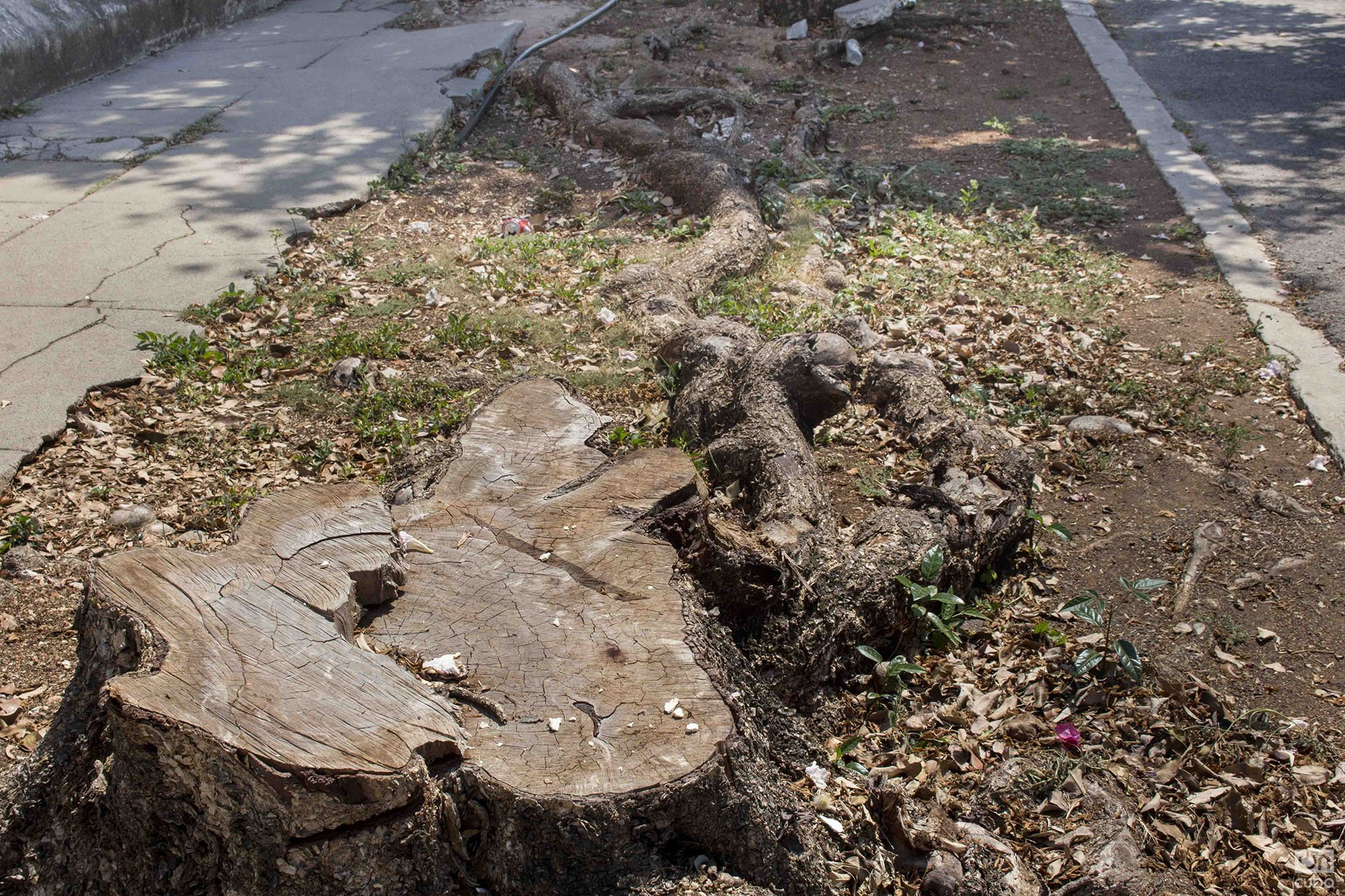 Tree stump located near the corner of 15 and Paseo, reported by the Habana Verde Facebook group. Photo: Yoel Rodríguez