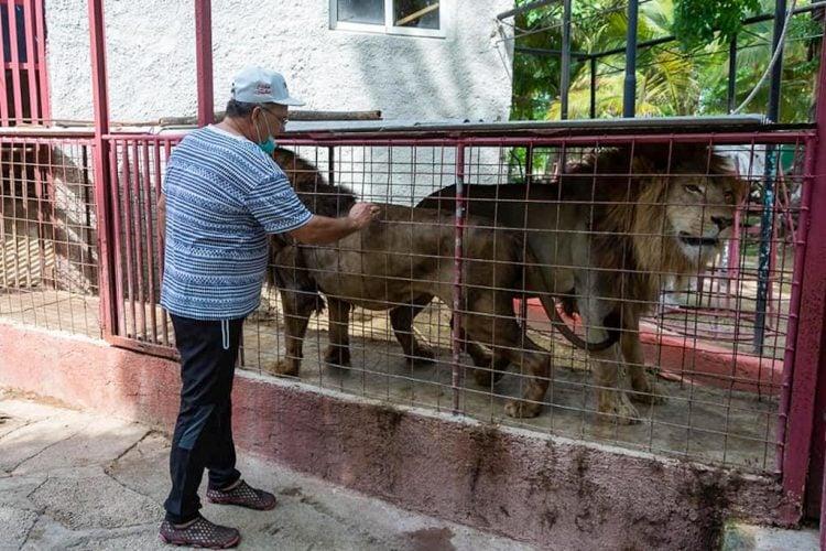 Dos de los leones que escaparon del zoológico de Camagüey, junto con su domador, este 18 de mayo de 2021. Foto: Leandro A. Pérez / Facebook.