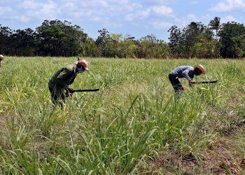 Campesinos trabajan en un cultivo de caña de azúcar, el 29 de abril de 2021 en Madruga, Mayabeque (Cuba). Foto: EFE/Ernesto Mastrascusa/Archivo.
