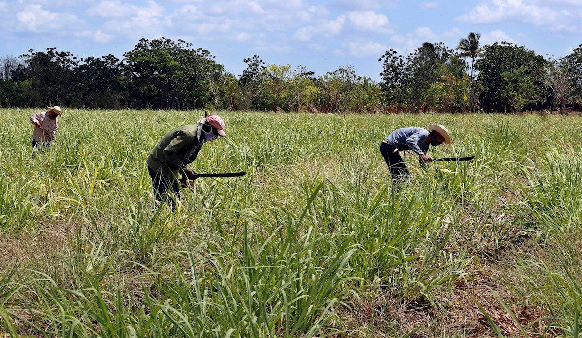 Campesinos trabajan en un cultivo de caña de azúcar, el 29 de abril de 2021 en Madruga, Mayabeque (Cuba). Foto: EFE/Ernesto Mastrascusa.