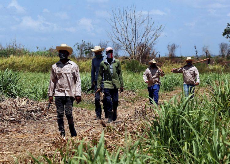 Campesinos caminan tras terminar sus labores en un cultivo de caña de azúcar, el 29 de abril de 2021 en Madruga, Mayabeque (Cuba). Foto: Ernesto Mastrascusa/Efe.