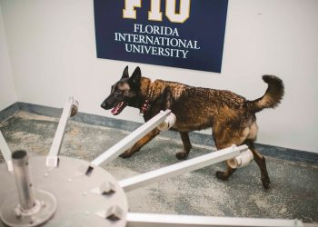 """Fotografía cedida por la Universidad Internacional de Florida (FIU) donde se muestra uno de los cuatro perros """"certificados"""" como detectores de la COVID-19, en EEUU. Foto: Fiu Margi Rentis / EFE."""