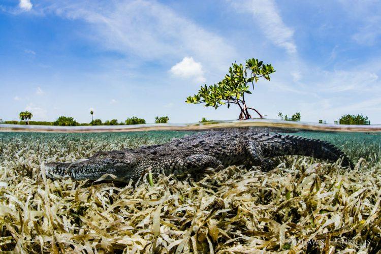 Cocodrilo americano en los manglares de Jardines de la Reina. Foto: Shawn Heinrichs, vía blog.nationalgeographic.org