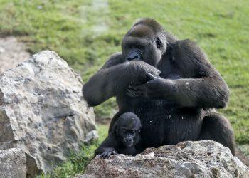 Foto de archivo de una gorila con su cría. Foto: EFE / Archivo.