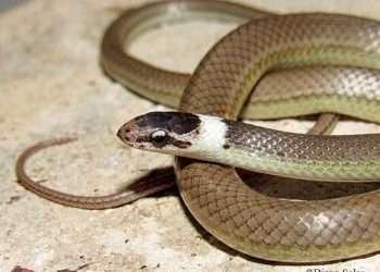 Ejemplar de una nueva especie de serpiente identificada en Cuba, denominada Arrhyton albicollum. Foto: Diego Salas vía Luis Manuel Díaz Beltrán / Facebook.